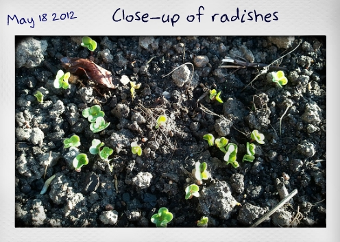 Close-up of radish sprouts